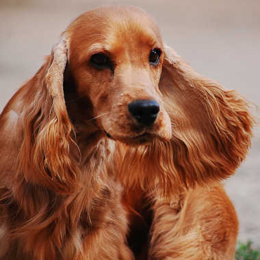 CockerSpanielAnglais